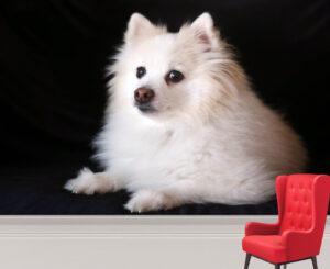 Adorable White Pomeranian Dog Wall Mural