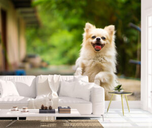 Happy Pomeranian Dog Wall Mural